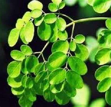 Nature Stek Indonesia stek daun kelor daftar harga terlengkap indonesia terkini