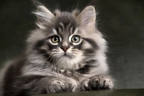 grey kitten wallpaper long haired gray kitten full hd wallpaper and background