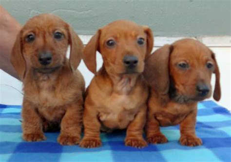 mini doxie puppies for sale akc chion mini dachshund puppies guaranteed top quality bloodlines for sale