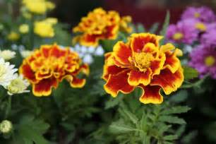 Marigold Plant Diseases - 5 easy to grow mosquito repelling plants