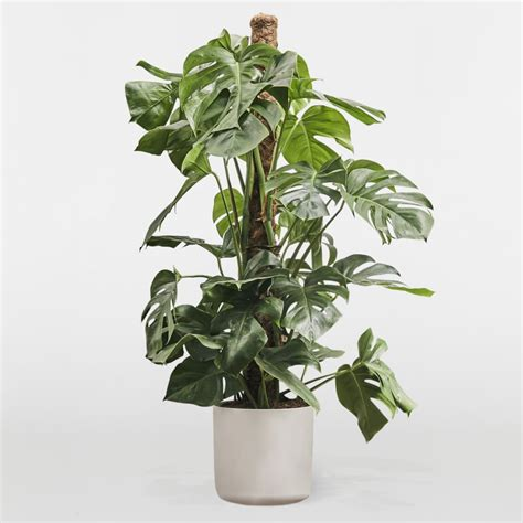 monstera deliciosa plants patch