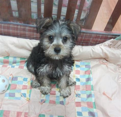 schnauzer yorkie mix yorkie schnauzer mix photo breeds picture