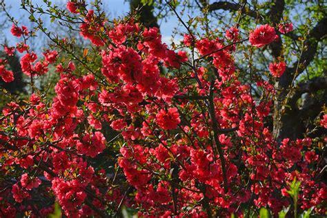 quince bush free photo japanese ornamental quince bush free image on pixabay 324372