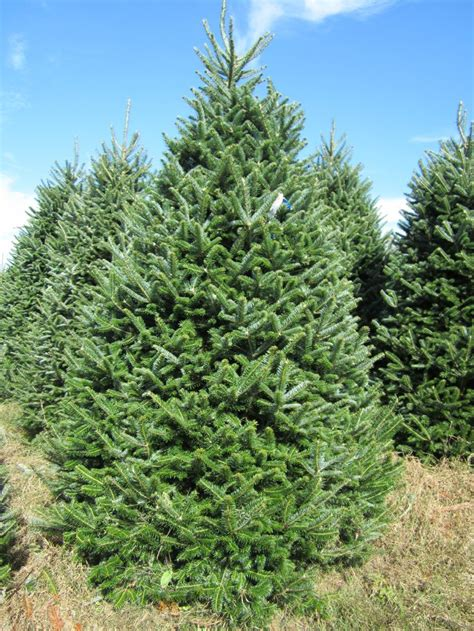 fraser ridge tree farm christmas tree farm one of our