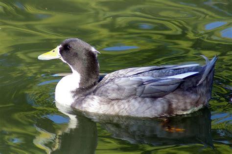 swedish blue blue swedish duck