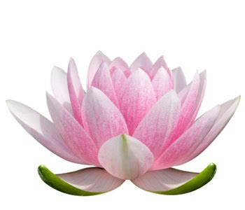 lotus flowers wallpaper lotus flowers