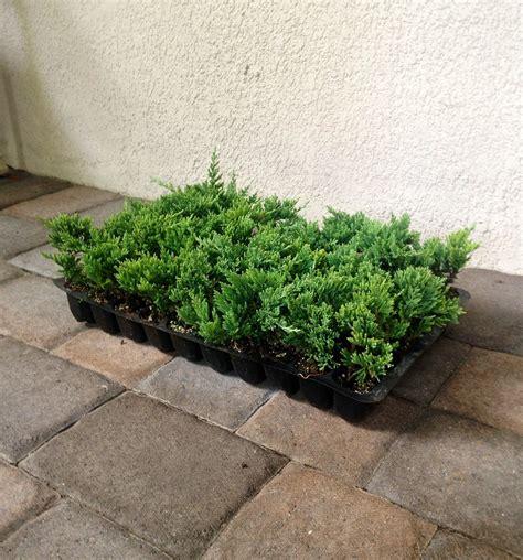 blue rug juniper ground cover blue rug juniper live plants evergreen ground cover juniperus