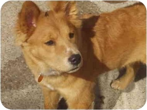 chow chow golden retriever mix happy biscuit adopted puppy parma oh golden retriever chow chow mix