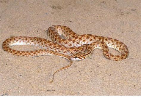 thar desert animals thar desert snake snakes scorpions deserts