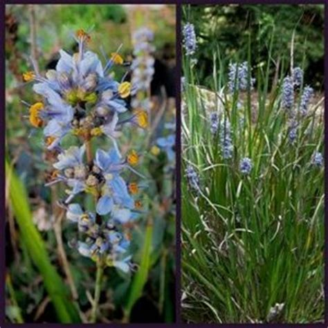 libertia caerulescens caerulea unusual garden plants