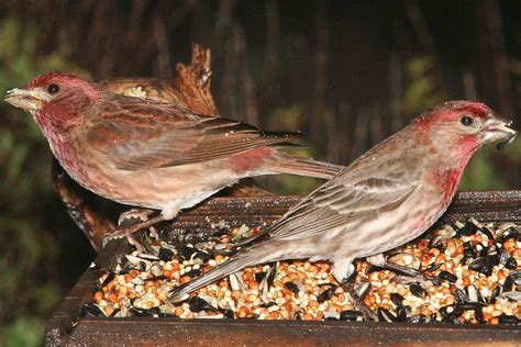 purple house finch identifying birds house finch or purple finch