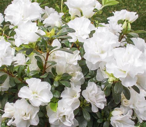 Azalea Shoo azalea indica brides bouquet evergreen growers