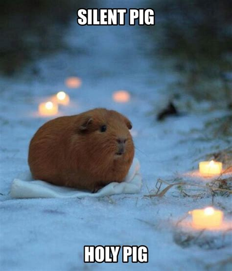 Guinea Pig Meme - 1000 ideas about funny pigs on pinterest pigs cute