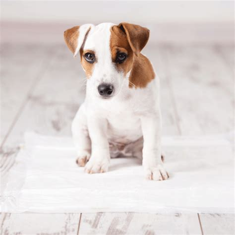 dog wee in house four paws wee wee pads