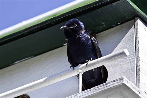 how to attract purple martins to your garden gardener s path