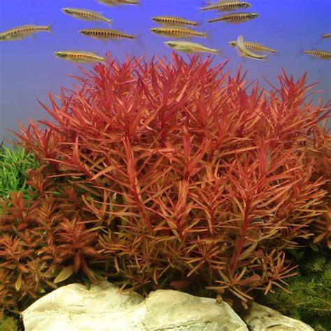 nesaea crassicaulis tropica aquarium plants birstall