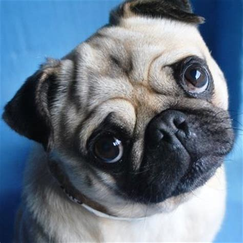 rspca pugs rspca adoption search results