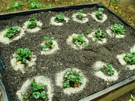 how to plant strawberries in a raised bed strawberry plants sunnysidelocal produce and nursery