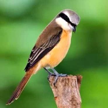 isamas berbagai jenis burung  suara merdu