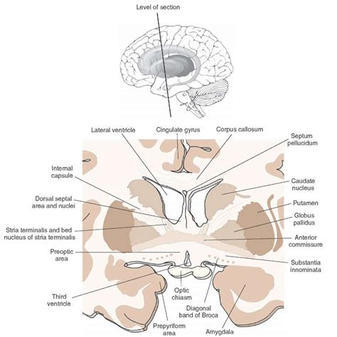 bed nucleus of the stria terminalis the forebrain organization of the central nervous system part 3