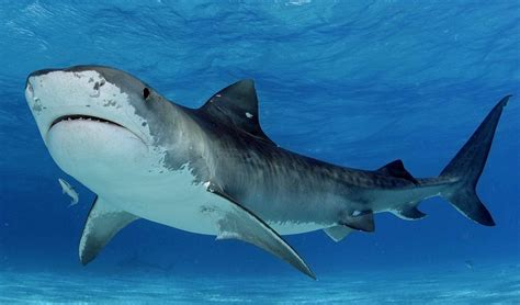 imagenes sorprendentes tiburones tibur 243 n tigre en el 2018 monstruos marinos