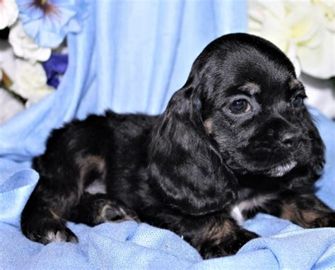 cocker spaniel puppies for sale in alabama stunning cocker spaniel puppies available birmingham for sale birmingham pets dogs