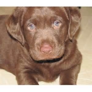 Labrador retriever lab breeders in minnesota page 1