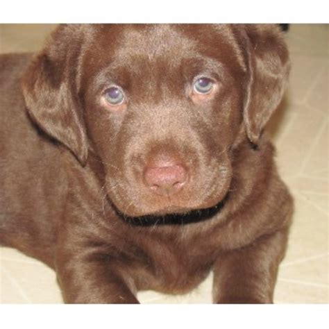 chocolate lab puppies for sale in mn labrador retriever lab breeders in minnesota page 1 freedoglistings