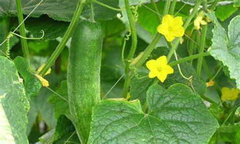mentimun ciri ciri tanaman manfaat  khasiatnya