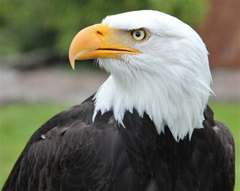 Eagles News American Bald Eagles New Challenge Post Population