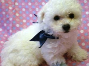 shih tzu puppies for sale in jacksonville fl shih tzu bichon puppies for sale in florida