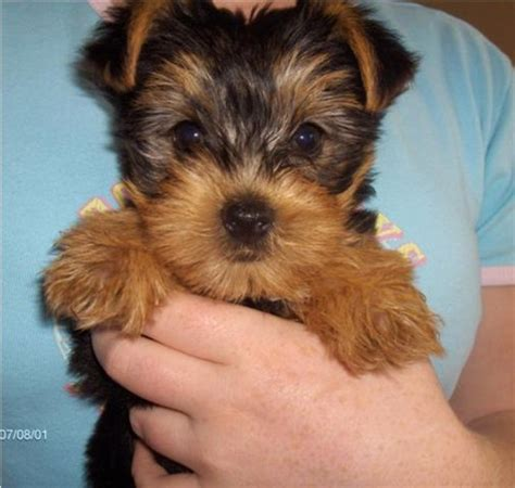 9 week yorkie puppy terrier photos pictures terriers