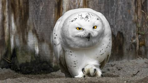 big snowy owl desktop background hd 1920x1080 deskbg com