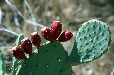 free large photos ripe prickly pear cactus fruit