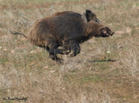 imagenes de animales jabali un paseo manchego un jabal 237 un momento de tensi 243 n y la