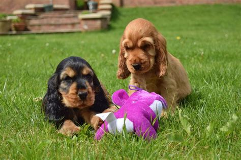 spaniel puppies for sale cocker spaniel puppies for sale picture and images