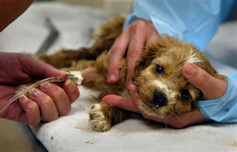 puppy sickness parvo parvovirus is deadly don t risk home treatment advanced veterinary care
