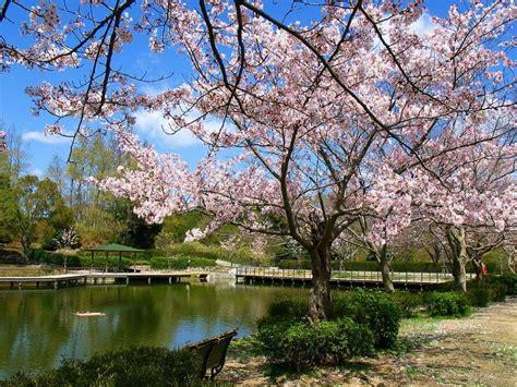 wallpaper daun sakura koleksi wallpaper cantik bunga sakura gasebo wallpaper