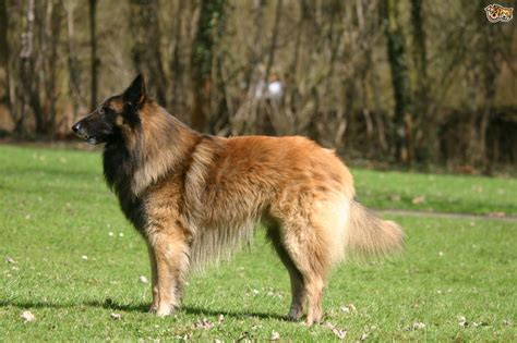 belgian shepherd puppies belgian shepherd breed information buying advice photos and facts pets4homes