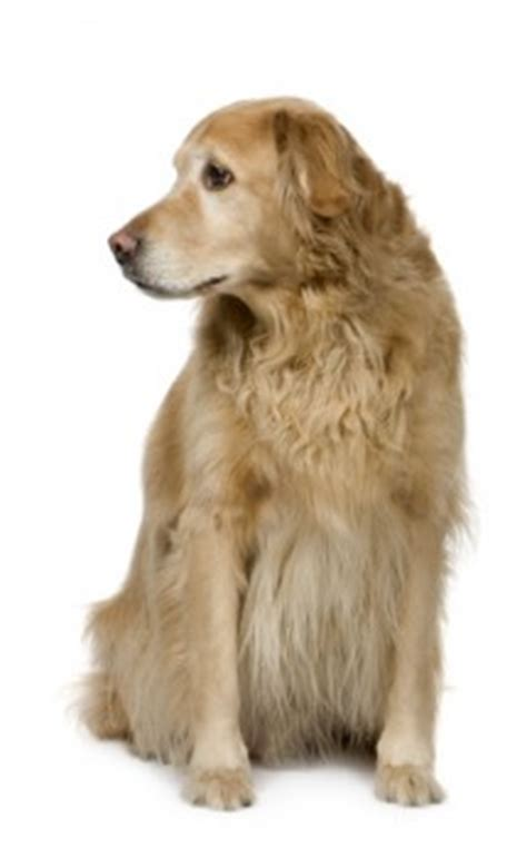 golden retriever spot golden retriever spots get domain pictures getdomainvids