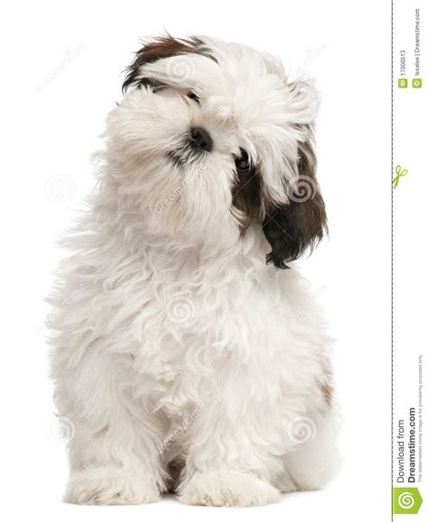 how to my shih tzu puppy to sit shih tzu puppy 3 months sitting stock photos image 17000513