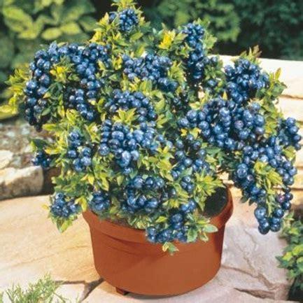 Tanaman Blueberry Sudah Berbuah 18 tanaman buah yang bisa ditanam di pot kecil bibitbunga