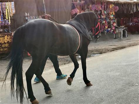 Sepatu Pony 2017 Flying Pony l india e i suoi cavalli marwari flying