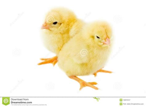 Small Chicken by Two Small Chicken A Over White Background Royalty Free