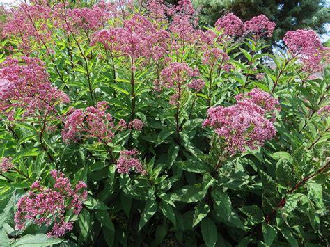 heidi s august plant pick joe pye weed my sweet cottage