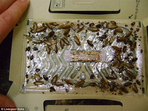 disgusting bugs infestation liverpool health inspectors discover a cockroach