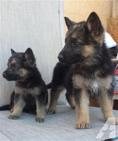 8 week german shepherd puppy german shepherd puppies 8 weeks for sale in chula vista california classified