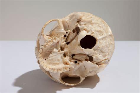 ivory skull sinai and sons raphael and joshua sinai