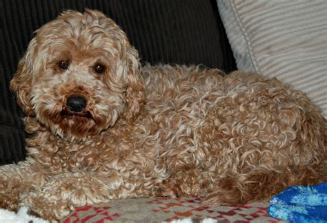 goldendoodle puppy coat types coat types blessed day labradoodles goldendoodles