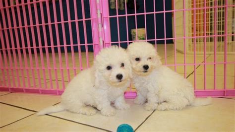 bichon frise puppies for sale in ga amazing bichon frise puppies for sale near atlanta at puppies for sale local breeders